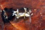 Piseinotecus sphaeriferus